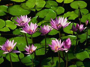 Photo of water lillies